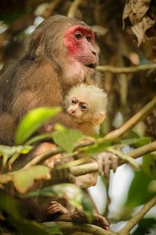 Stumptailed makaak met een rood gezicht in groene jungle wilde aap in de prachtige indiase jungle