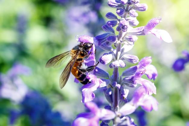 Stuntel honingbij zoemend op lavendelbloem