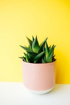 Succulent en cactus haworthia in een roze bloempot op een stevige kleurenachtergrond met exemplaarruimte. modern minimalistisch huisdecor.