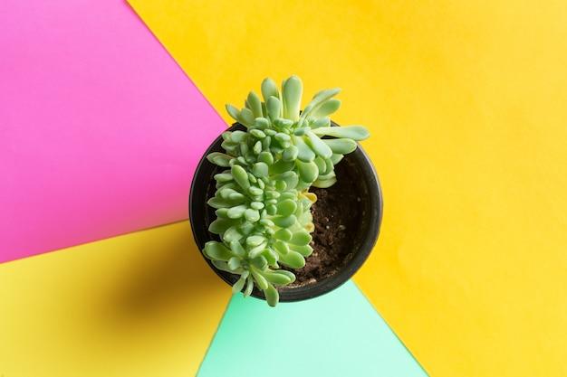 Succulente bloem op helder gekleurd. plat lag, bovenaanzicht
