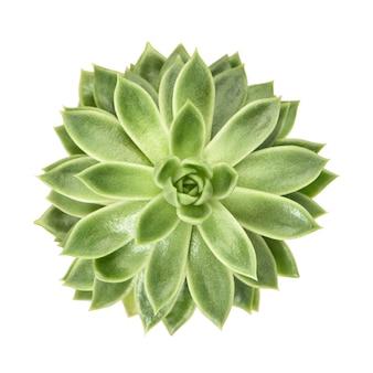 Succulente bloem plant geïsoleerd