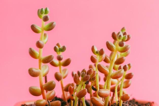 Succulente planten op pastelroze. plat leggen.