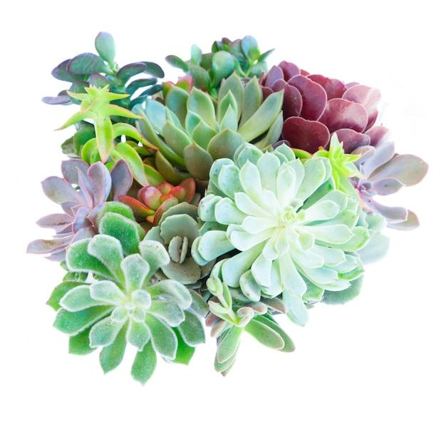 Succulente verse planten geïsoleerd op een witte achtergrond