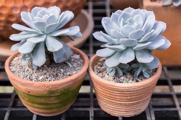 Succulentscactus in woestijn botanische tuin voor decoratie en landbouwontwerp