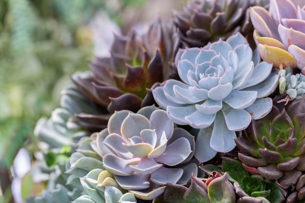 Succulentscactus in woestijn botanische tuin voor decoratie en landbouwontwerp.