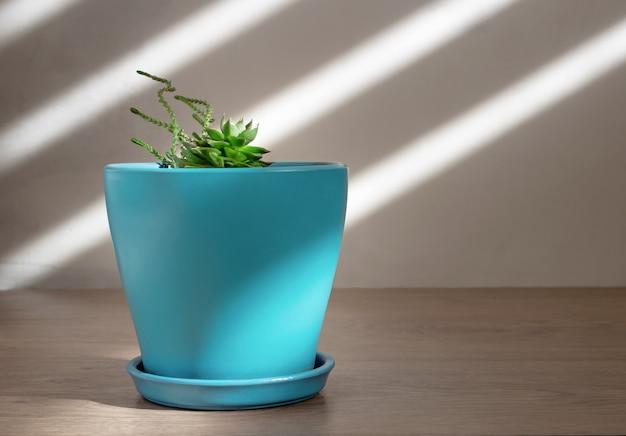 Suculente plant in een blauwe pot bij daglicht. kamerplanten in een minimalistische stijl.