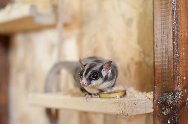Suiker vliegende possum in contactdierentuin. australische vliegende eekhoorn