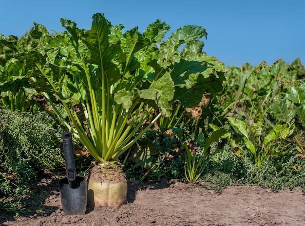 Suikerbietwortel in de grond, gecultiveerd gewas in het veld en de schop van een landbouwkundige