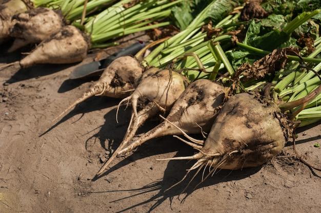 Suikerbietwortels gewonnen uit de grond, oogsten