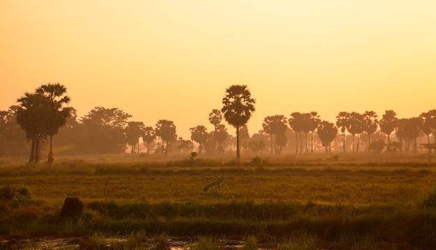 Suikerpalm en rijst gearchiveerd bij zonsondergang