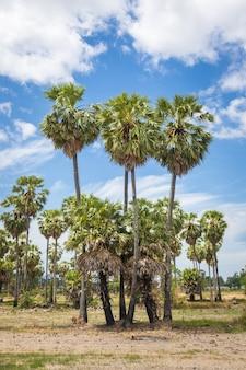 Suikerpalmen (borassus flabellifer) aziatische palmyra palm
