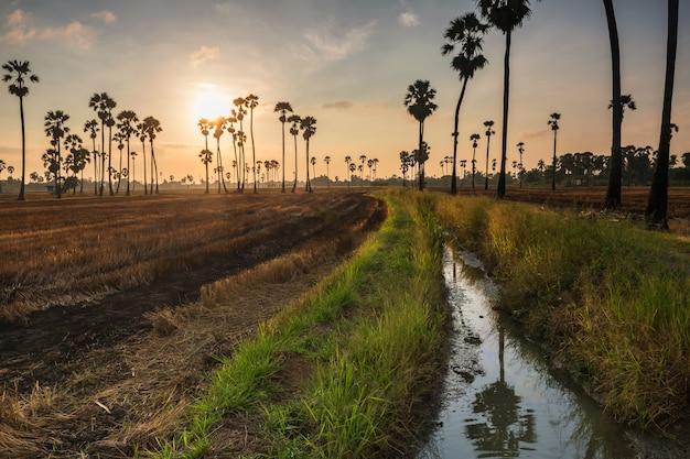 Suikerpalmen en gesneden padieveld langs kanaal bij zonsopgang in dongtan sam khok, pathum thani, thailand. landbouw voedingsindustrie in warm land. mooi oriëntatiepunt voor vakantieganger.