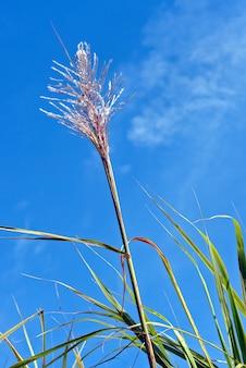 Suikerriet bloem