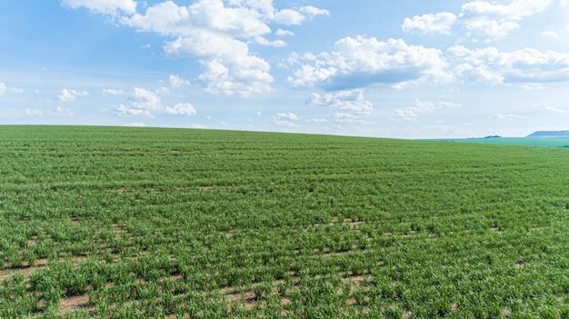 Suikerriet hasvest plantage antenne. luchtfoto bovenaanzicht van een landbouw velden. suikerriet boerderij.