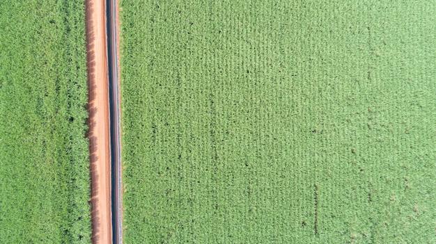Suikerriet hasvest plantage