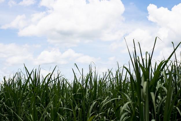 Suikerriet met de hemel voor aardachtergrond.