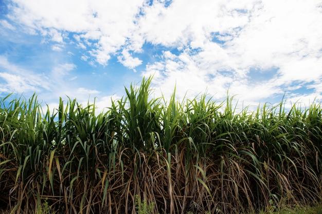 Suikerriet op veld met blauwe hemel.