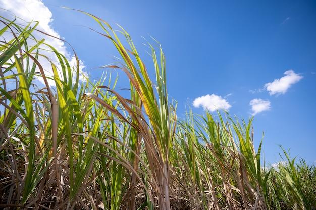 Suikerriet plant