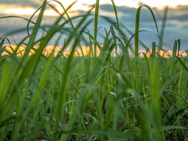 Suikerriet plantage zonsondergang te bekijken
