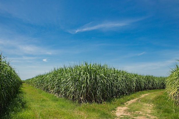 Suikerriet veld en weg