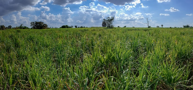 Suikerriet veld natuur landschap-achtergrond.