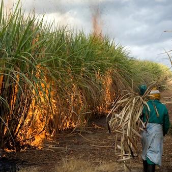 Suikerriet veld
