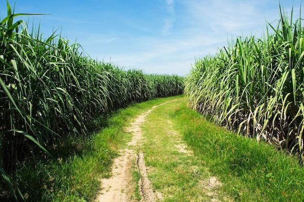Suikerrietgebied en weg met witte wolk in thailand