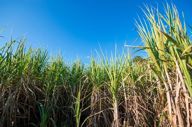 Suikerrietgebied met de blauwe achtergrond van de hemelaard.