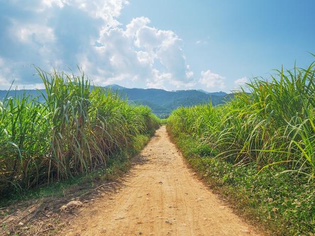 Suikerrietplantage. landbouw in muang long, noord-laos. industrielandbouwlandbouwgrond in ontwikkelingslanden.