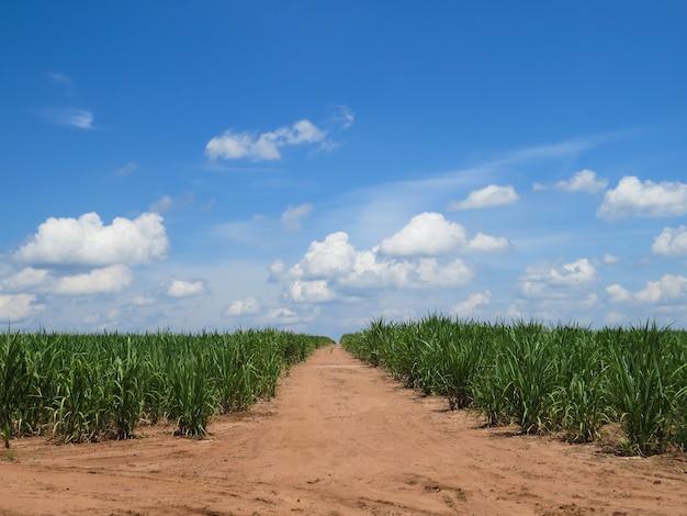 Suikerrietplantage met weg in het midden en mooie blauwe hemel met wolken