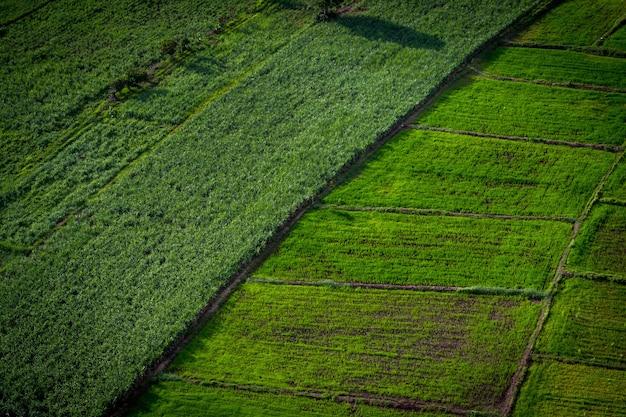 Suikerrietveld en padieveld in natuurlandschap