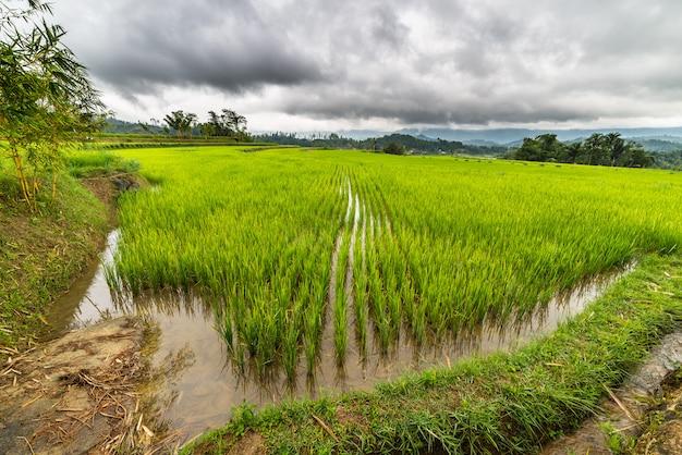 Sulawesi rijstvelden