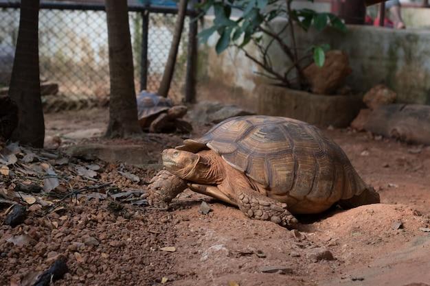 Sulcata-schildpad, afrikaanse aangespoorde schildpad (geochelone sulcata) is een van de grootste soorten schildpadden ter wereld.
