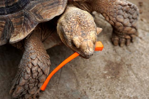Sulcata-schildpad geochelone sulcata die een gesneden wortel eet in de dierenboerderij