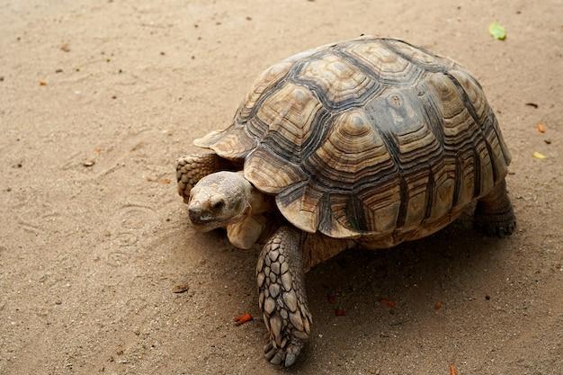 Sulcata-schildpad geochelone sulcata in de dierenboerderij