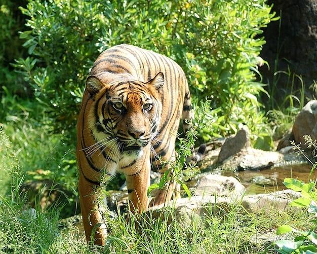 Sumatran kat tijger gevaarlijk roofdier dier