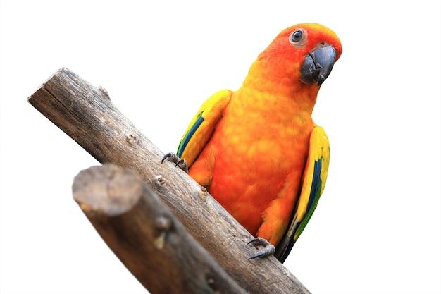 Sun conure (sun parakeet) geïsoleerd op wit