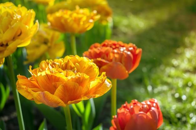 Sun lover-variëteit rode en oranje tulpen in stadspark.