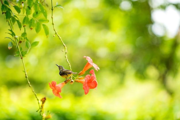 Sunbird drinkt nectar van oranje bloemen