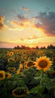 Sunlowers in het veld.