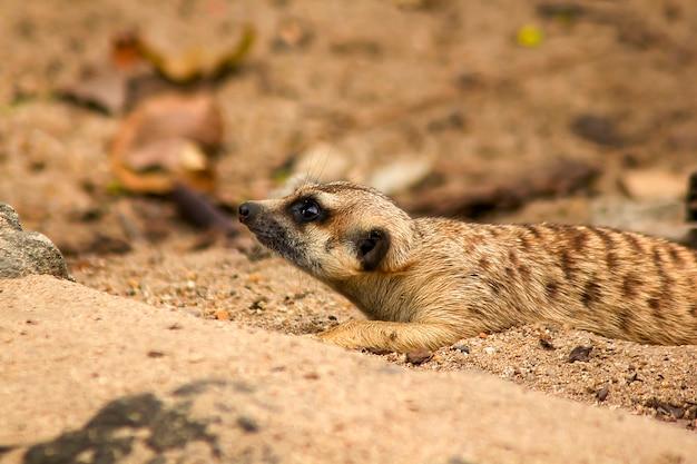 Suricata-suricatta die iets bekijkt