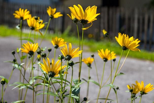 Susan-bloemen met zwarte ogen bloeien in een tuin in cortina d'ampezzo