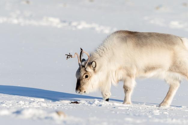 Svalbard-rendier het ruiken rendieruitwerpselen in de sneeuw in svalbard, noorwegen