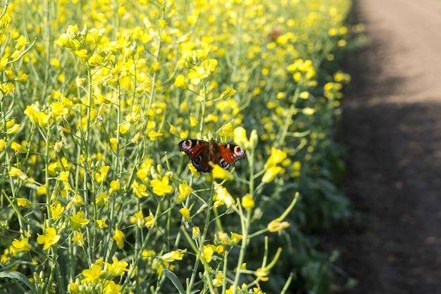 Swallowtail vlinder op een gele bloem, een vlinder bestuift landbouwgrond
