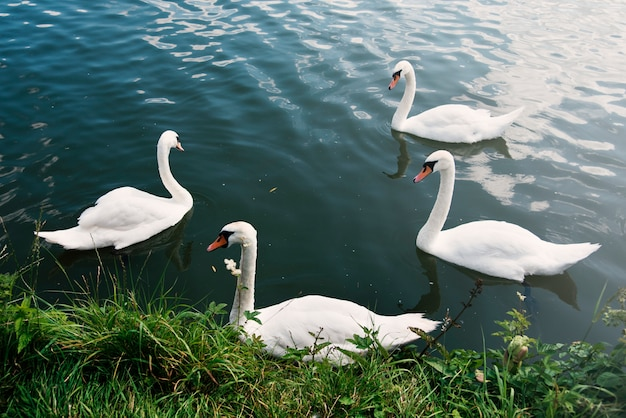 Swans nature graceful peaceful wild concept