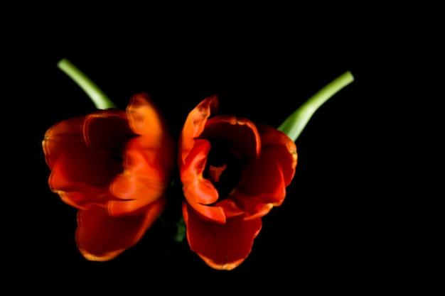 Symmetrie van mooie verse oranje tulp op zwarte achtergrond