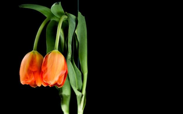 Symmetrie van oranje tulp op zwarte achtergrond