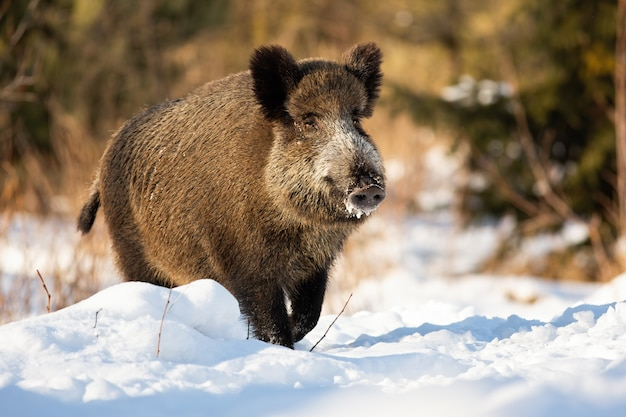Taai everzwijn dat op een sneeuwweide loopt die in sneeuw in wintertijd wordt behandeld.