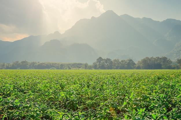 Tabak landbouw plant veld met landschap prachtige berg heuvel achtergrond.