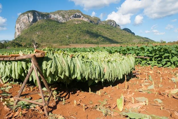 Tabaksbladeren drogen in de zon op een boerderij in vinales Premium Foto